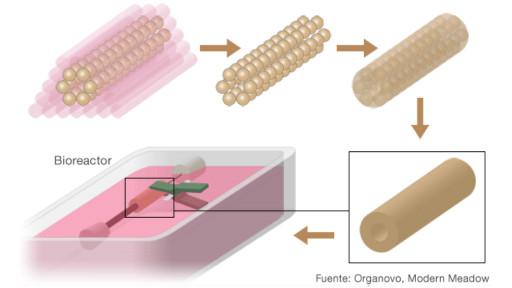 Después de unos días, la biotinta y el agaar se remueven. El tejido se pone en un bioreactor y se la da una estimulación de baja frecuencia para que la fibra del músculo madure.