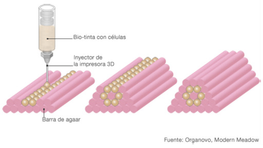 La biotinta con varios tipos de células es impresa en moldes hechos de gel de agaar, una gelatina vegetal de origen marino.